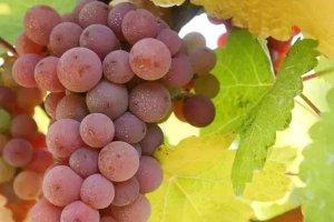 <b>【意大利葡萄酒新酒上市】灰皮诺干白葡萄酒</b>